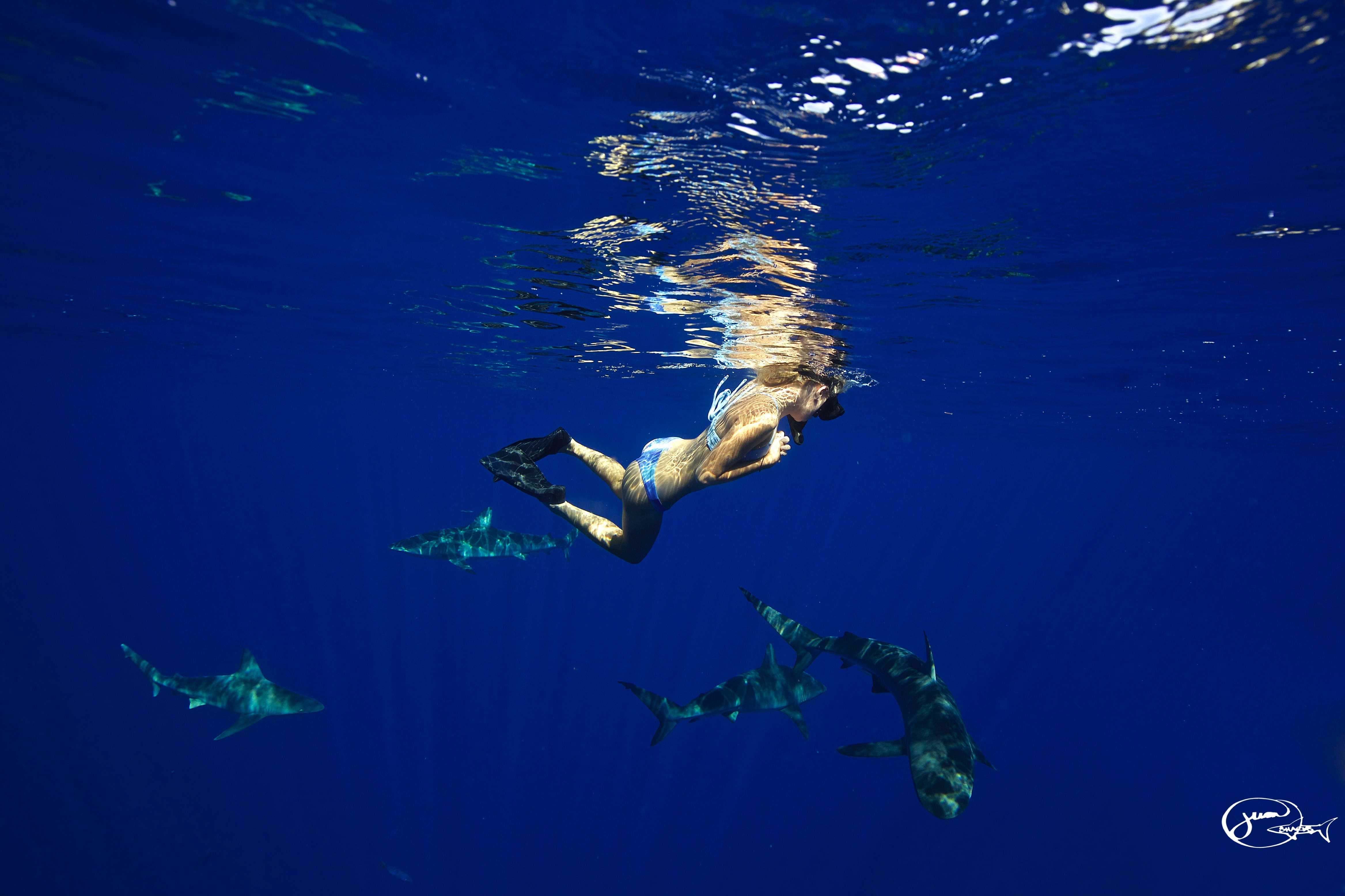 Swim And Dive With Sharks In Oahu Sav On Tours Hawaii Best Shark Cage