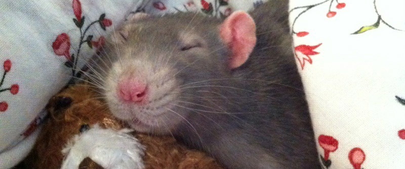 Hiccup the rat