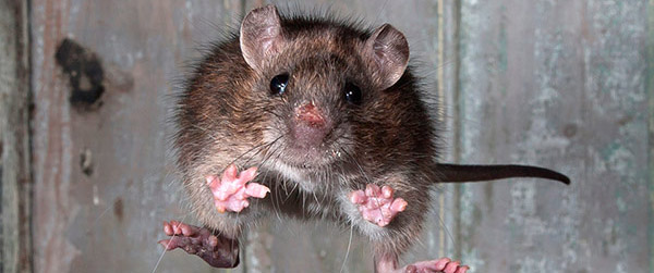 Come rat me bro!